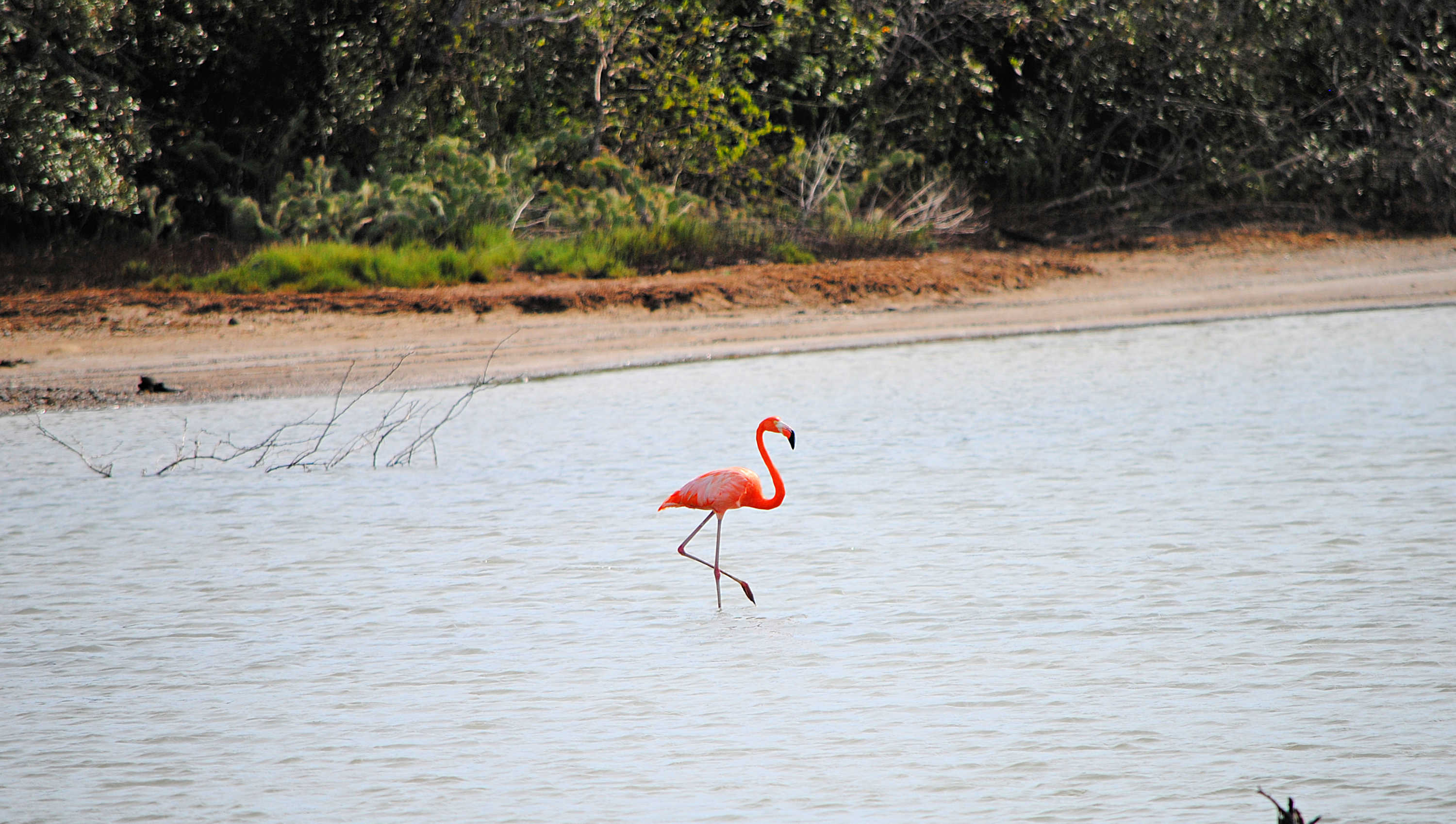 Flamingo Curacao Sint Willibrordus Willywood