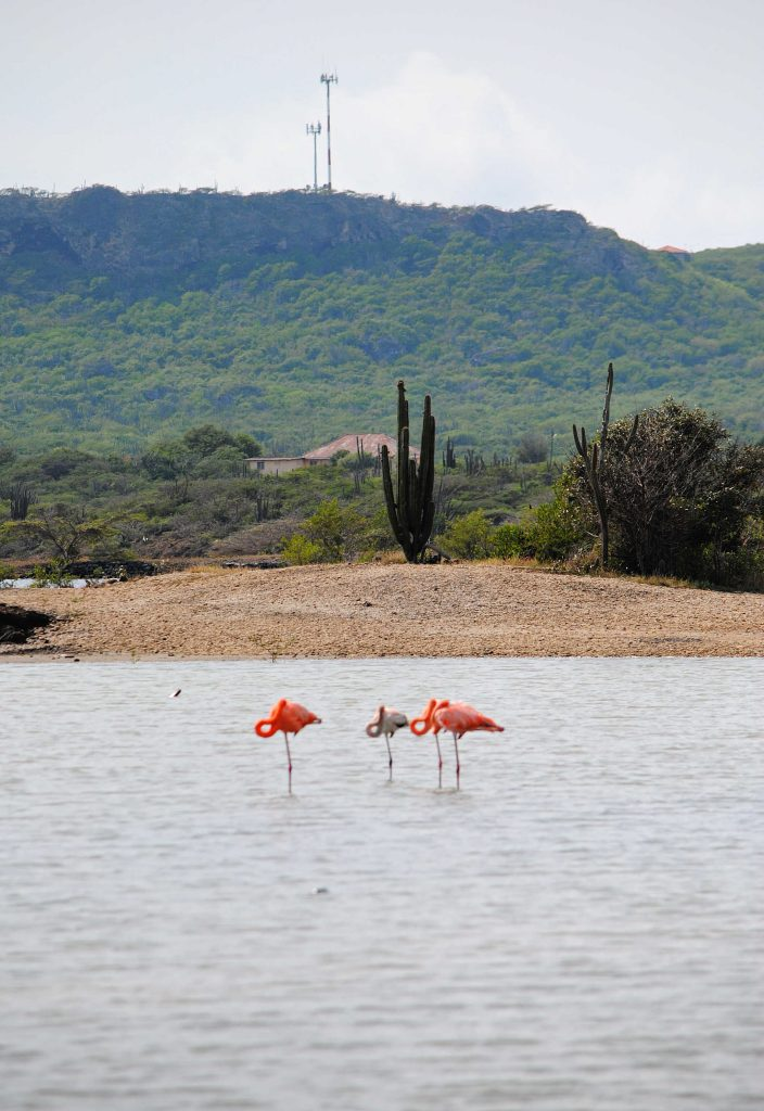 Flamingo Curacao zoutvlakte Sint Willibrordus Willywood