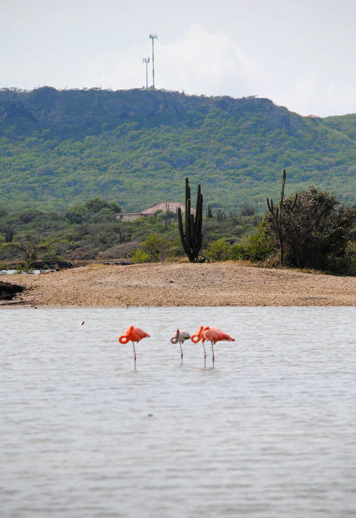 Flamingo Curacao zoutvlakte Sint Willibrordus Willywood