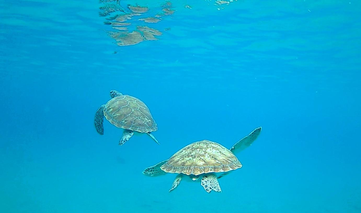 Snorkelen met schildpadden op Curaçao bij Playa Grandi